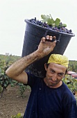 Primitivo grape harvest, Accademia dei Racemi, Manduria, Apulia, Italy