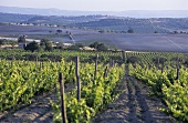 Pachino wine region, original home of Nero d'Avola, Sicily, Italy