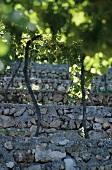 Terrassenweinbau, Monte Olmi, Tedeschi, Pedemonte, Italien