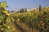 Weinberge bei Bardolino am Gardasee, Veneto, Italien