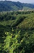 Santo Stefano vineyards in Valdobbiadene, Veneto, Italy
