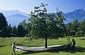 Cherry-picking in Steinerberg, Schwyz, Switzerland