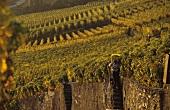 Grape-picking in Epesses, Lavaux, Vaud, Switzerland