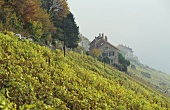 Dézaley vineyards, Lavaux wine region, Vaud, Switzerland