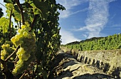 Ripe grapes, Epesses on Lake Geneva, Lavaux, Vaud, Switzerland