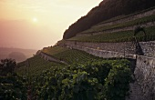 Clos du Rocher vineyard, Obrist Winery, Yvorne, Vaux, Switzerland