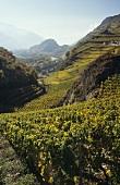 Vineyards near Uvrier, Valais, Switzerland