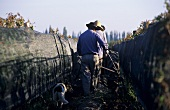 Tilling the soil between rows of vines, Mendoza, Argentina