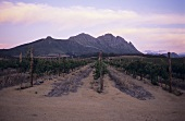 Vineyards of Uitkyk Estate, Stellenbosch, S. Africa