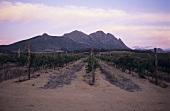 Vineyards of Uitkyk Estate, Stellenbosch, S. Africa