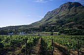 Vineyards against Helderberg Mountains, Stellenbosch, S. Africa