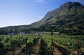 Vineyards against Helderberg Mountains, Stellenbosch, S. Africa