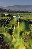 Vineyards of Fromm Winery, Blenheim, Marlborough, N. Zealand