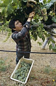 Grape-picking in the Napa Valley, California, USA