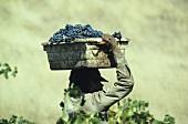 Picking Zinfandel grapes, Napa Valley, California, USA