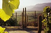 Rebberge, Weingut Don Maximiano von Vina Errazuriz, Chile