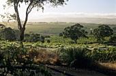Vineyards in the dry McLaren Vale, Australia