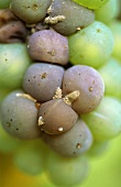 Botrytis on Riesling grapes