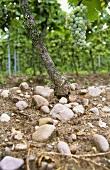 Sandstone on clayey sandy loam, Gimmeldingen, Palatinate
