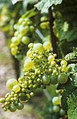 Irregular grape growth after changeable weather