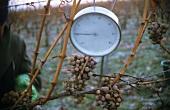 Thermometer measuring temperature for ice wine harvest, Rheingau
