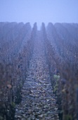 A vineyard in mist, Epernay, Champagne, France
