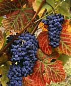 Touriga Nacional grapes, Vila Nova de Foz Coa, Portugal