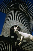 Fairview Estate, Ziege im 'Goat Tower', Paarl, Südafrika
