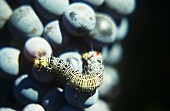 Caterpillar on a bunch of red wine grapes