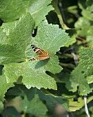 Butterfly on a vine leaf