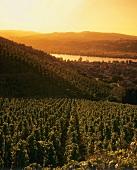 Vineyard near Ampuis, Côte Blonde, Rhône, France