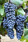 Barbera grapes, Piacenza, Emilia-Romagna, Italy