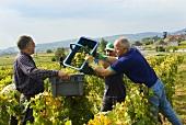 Picking Chardonnay grapes, Domaine de la Romanée-Conti, France