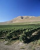 Bien Nacido Vineyard, Santa Maria Valley, Kalifornien, USA