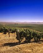Buena Vista Vineyard, Carneros, California, USA