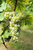 Maturana Blanca grapes (Ribadavia) DOCa grapes, Rioja