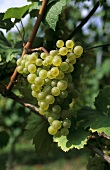 Elbling grapes hanging on the vine