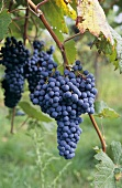 Lagrein grapes, typical grape variety of S.Tyrol region