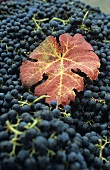 Merlot grapes with vine leaf, Stellenbosch, S. Africa