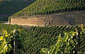 Wandern zwischen Weinbergen, 'Dernauer Pfarrwingert', Ahr
