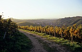 Autumn in vineyard with view of Durbach, Baden