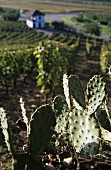Cacti, 'Ihringer Winklerberg', warmest vineyard location in Germany