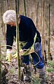 Woman tying in vines in the Ganzbogen (whole bow) style, Mosel, DE