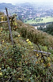 Neglected vineyard on the Saar, Germany