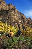 Grape picking below red cliffs of 'Traiser Bastei', Nahe, Germany
