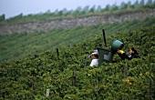 Grape-picking near Laumersheim, Palatinate, Germany