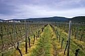 'Gimmeldinger Mandelgarten' vineyard, Gimmeldingen, Palatinate, Germany