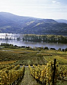 Vineyard with view of the Rhine, Rheingau, Germany