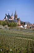 Vineyard 'Oppenheimer Sackträger', Oppenheim, Rhenish Hesse, Germany