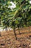 Riesling vines in 'Niersteiner Ölberg' Einzellage, Rheinhessen, Germany